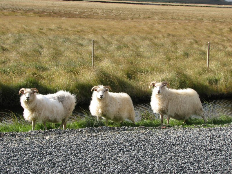 Island Schafe